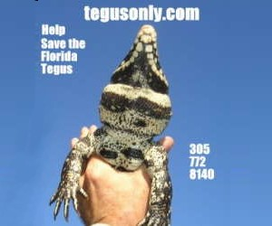 click here for the TegusOnly.com