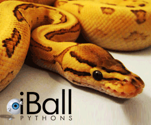 click here for iballpythons.com